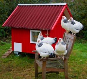 mobiles Hühnerhaus